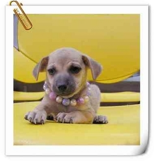 Beagle/Terrier (Unknown Type, Small) Mix Puppy for adoption in Concord, California - Diamond