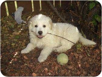 Great Pyrenees Mix Puppy for adoption in Okotoks, Alberta - Logan