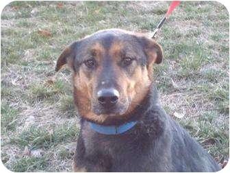 German Shepherd Dog Mix Dog for adoption in Portland, Maine - Amity