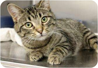 American Shorthair Kitten for adoption in Farmington, Michigan - Whisker Lickins: 6 months
