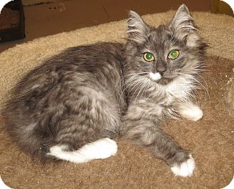 Domestic Longhair Kitten for adoption in Catasauqua, Pennsylvania - Daisy