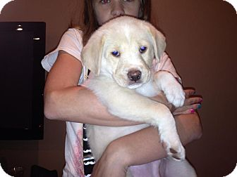 Labrador Retriever/Shepherd (Unknown Type) Mix Puppy for adoption in Naperville, Illinois - Cameron
