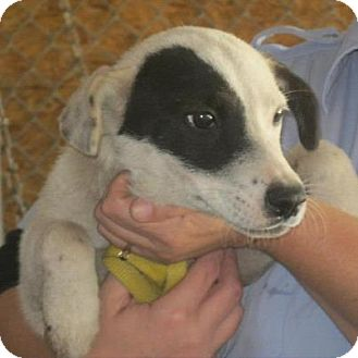Beagle/Hound (Unknown Type) Mix Dog for adoption in Varnville, South Carolina - Teresa
