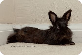 Lionhead Mix for adoption in Cambridge, Ontario - Sully