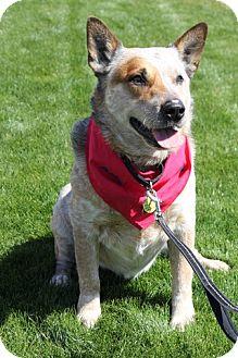 Australian Cattle Dog Mix Dog for adoption in Phoenix, Arizona - Chase