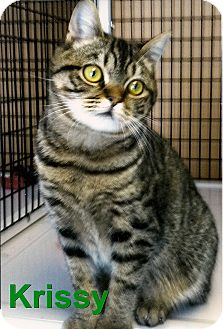 Domestic Shorthair Kitten for adoption in Medway, Massachusetts - Krissy