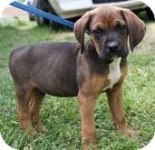 Boxer/Hound (Unknown Type) Mix Puppy for adoption in Washington, D.C. - Willie