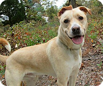 Shepherd (Unknown Type)/Labrador Retriever Mix Dog for adoption in Forked River, New Jersey - Bentley