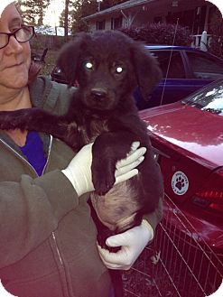 Newfoundland Mix Puppy for adoption in Stafford Springs, Connecticut - Pria