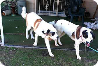 St. Bernard Mix Dog for adoption in Las Vegas, Nevada - Bonnie