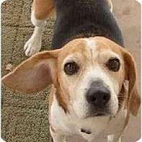 Adopt A Pet :: Snoopy the Great - Phoenix, AZ
