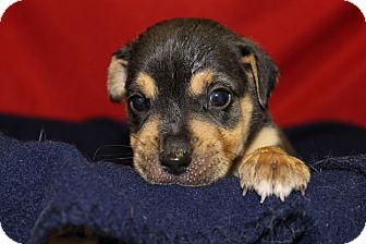 Shepherd (Unknown Type)/Labrador Retriever Mix Puppy for adoption in Waldorf, Maryland - Aurora