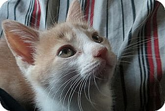 Domestic Shorthair Kitten for adoption in Chesterfield Township, Michigan - Graham