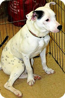 Hound (Unknown Type) Mix Puppy for adoption in Shelter Island, New York - Spot