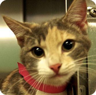 Domestic Shorthair Cat for adoption in Daytona Beach, Florida - Vitani