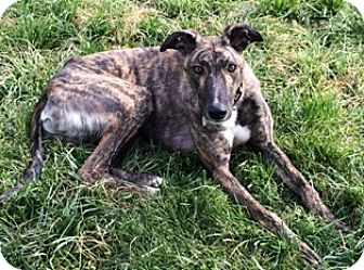 Greyhound Dog for adoption in Knoxville, Tennessee - Afly Jon Lester