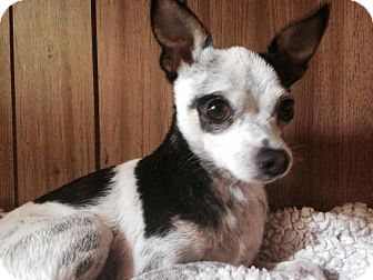 Chihuahua Mix Dog for adoption in Astoria, New York - Captain Jack