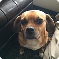 Adopt A Pet :: Asante - Raritan, NJ