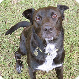 Labrador Retriever/Collie Mix Dog for adoption in Huntsville, Alabama - Pogo