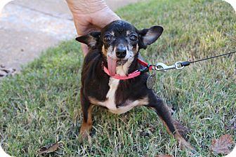 Chihuahua Dog for adoption in Yukon, Oklahoma - Sassy