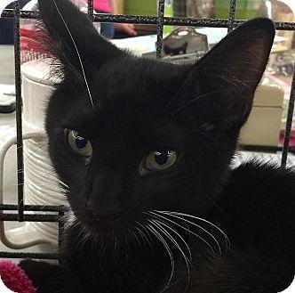 Domestic Shorthair Kitten for adoption in Statesville, North Carolina - Jack II