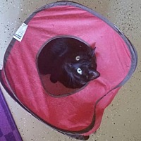 Domestic Shorthair Cat for adoption in Greensboro, North Carolina - Little Mama *Courtesy Listing*