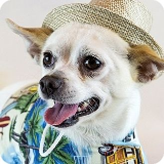 Chihuahua Mix Dog for adoption in Houston, Texas - Clarence Colgin