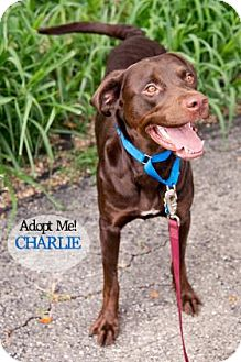 Labrador Retriever Mix Dog for adoption in West Des Moines, Iowa - Charlie