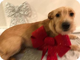 Airedale Terrier Mix Puppy for adoption in Seguin, Texas - Bradly