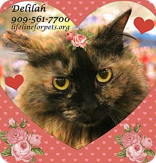 Domestic Mediumhair Cat for adoption in Monrovia, California - Darling DELILAH!