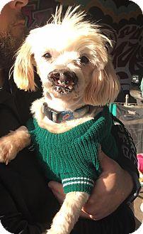 Maltese/Bichon Frise Mix Dog for adoption in Pittsburgh, Pennsylvania - Coconut
