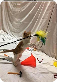 American Shorthair Kitten for adoption in Lincoln, Nebraska - Murphy