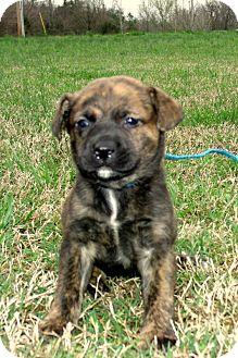 Golden Retriever/Labrador Retriever Mix Puppy for adoption in parissipany, New Jersey - LEAH/APP REVIEW