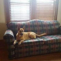 Rhodesian Ridgeback Dog for adoption in Council Bluffs, Iowa - Nyla