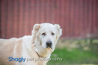 Shepherd (Unknown Type) Dog for adoption in McKinney, Texas - Atlas 1