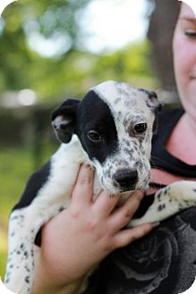 Pit Bull Terrier Mix Puppy for adoption in Morganville, New Jersey - Kerbe