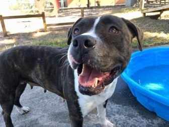 Mixed Breed (Large) Mix Dog for adoption in Land O'Lakes, Florida - Mollie