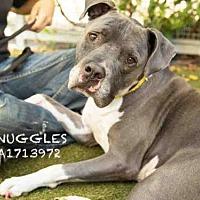 Adopt A Pet :: SNUGGLE - Los Angeles, CA