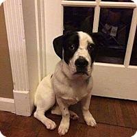 Adopt A Pet :: Cooper1 - Hanover, PA