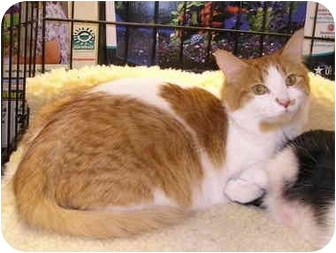 Domestic Shorthair Cat for adoption in Laurel, Maryland - Voshkie