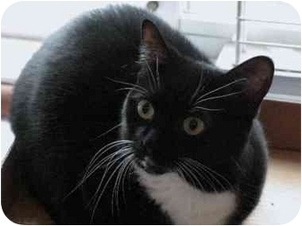 Munchkin Cat for adoption in Davis, California - Miss Sweetie