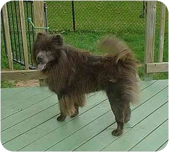 Chow Chow Dog for adoption in Cicero, New York - Roxy