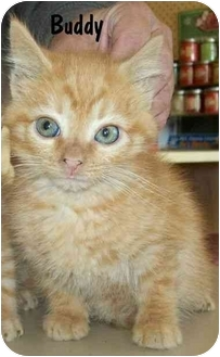 Domestic Mediumhair Kitten for adoption in North Judson, Indiana - Buddy