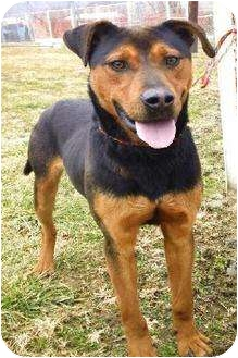Shepherd (Unknown Type) Mix Dog for adoption in Broadway, New Jersey - Balto