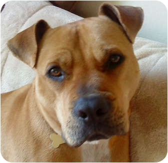Boxer/American Pit Bull Terrier Mix Dog for adoption in Poway, California - Doc Holiday