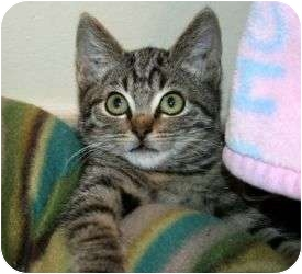 Domestic Shorthair Cat for adoption in Canoga Park, California - Frankie