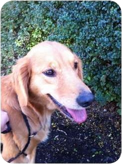 Golden Retriever Dog for adoption in Knoxville, Tennessee - Emily
