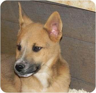 German Shepherd Dog/Husky Mix Puppy for adoption in Spring Valley, New York - Oliver