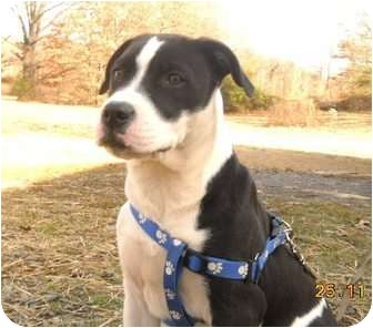 Boxer Mix Puppy for adoption in Naugatuck, Connecticut - Henna