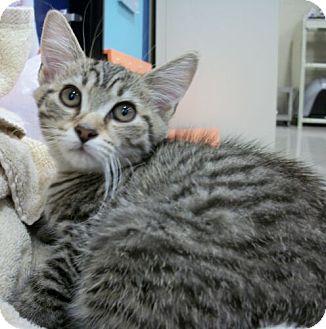 Domestic Shorthair Kitten for adoption in Reston, Virginia - Penley